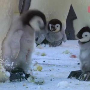 """【 """"あのおばさん 怖い!"""" チョット怒られたのに お漏らしした 赤ちゃんペンギン】"""