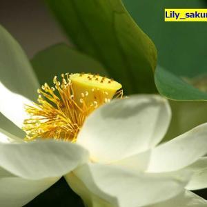 「白蓮の香」国営昭和記念公園