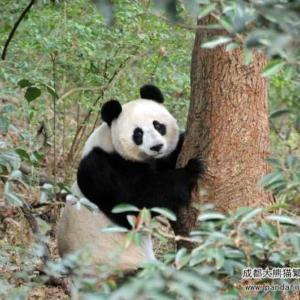「大熊猫繁殖プログラム」