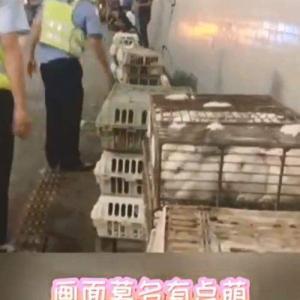 動画「ウサギ3000羽が脱獄・高速トンネル内で」」