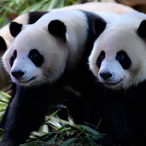 動画「三つ子のパンダちゃん6歳に」