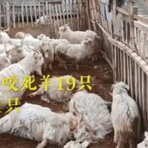 動画【雪豹が羊を19頭襲い・羊小屋で一泊】