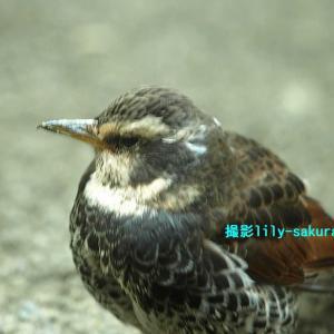 【ツグミ・久方の天の河原にぬえ鳥の・・】撮影りりー