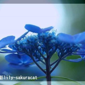 【 紫陽花 】撮影りりー