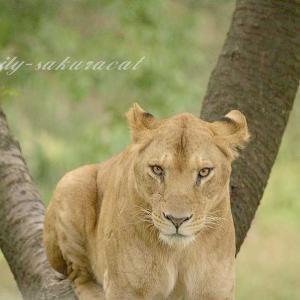 【ライオンに恥をかかせては いけません!】