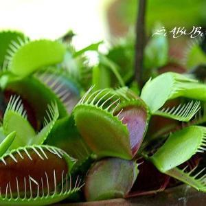 『女神のハエ取り罠!? なかなか 賢いんです』食虫植物・神奈川県立大船植物園
