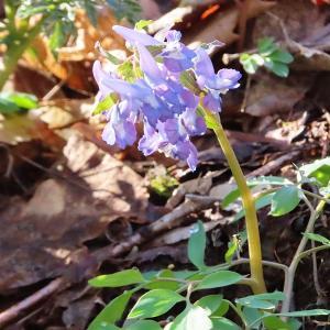 春の妖精エゾエンゴサク
