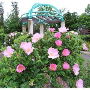 「はぼろバラ園」で休憩~咲いていたバラ