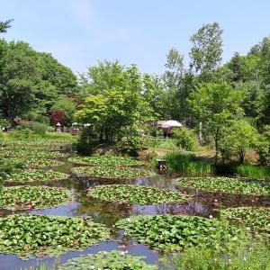 「三浦庭園」さんの睡蓮を見に!