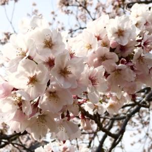 造幣局 桜の通り抜け2019が大混雑!貨幣セットは毎日完売!【平成最後】という言葉の魔法?