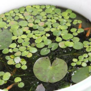 雨のビオトープ 株分けした睡蓮に花芽がついた!
