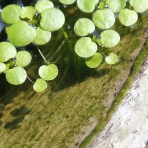 ビオトープでも水草シェルターでメダカの稚魚が生き残る