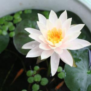 メダカの稚魚飼育リベンジ 別鉢の睡蓮も開花