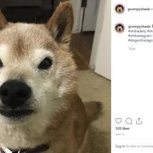 【柴犬】不機嫌そうな柴犬「怒ってないよね!?」がInstagramで人気急上昇中(米)