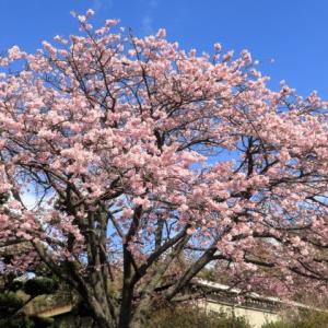 2020桜: 大寒桜