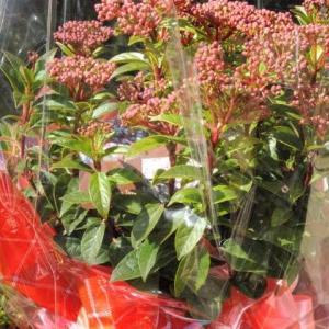 花の贈り物 「ビバーナム ティヌス」