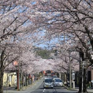 2020桜: 唐戸 奥小路通りの桜並木