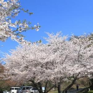 2020桜: 花の下にて昼ごはん