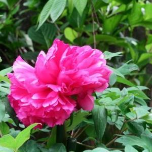 庭の牡丹が咲きだした