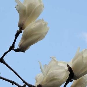 市街地のもくれん、桜と菜の花
