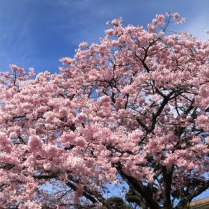 2019桜 : 桜を探しに・・大寒桜
