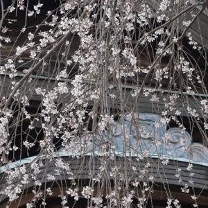 2019桜: 護国寺の枝垂れ桜