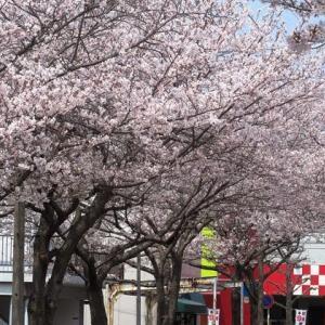 2019桜: 最後