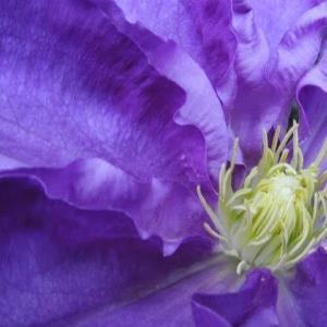 クレマチスの紫
