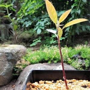 アボカドの発芽と移植