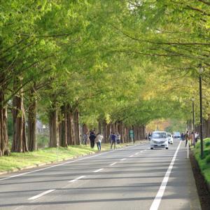 メタセコイア 滋賀県高島