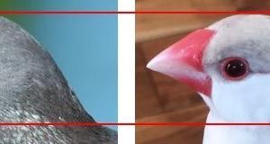 文鳥の顔は可愛い