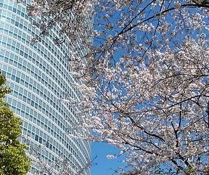 品川インターシティのソメイヨシノは、だいぶ散ってきました。2020.4.6