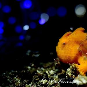 【青イルミネーション】カエルアンコウの幼魚&ホヤエビ