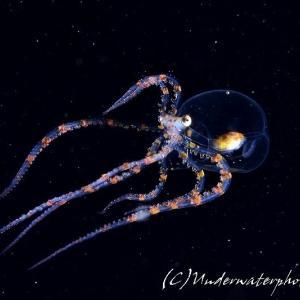 【浮遊系ナイトの◎】ワンダーパスオクトパス&サガミツノメエビ