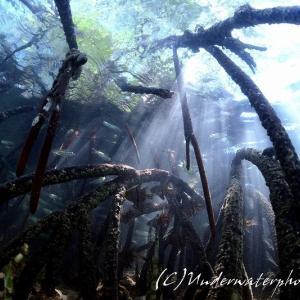 【自然光ワイド】マングローブと水面下の賑わい@West Bali