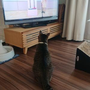 【猫の視力と聴力】ジャパネットのCM好きな猫から学ぶ。