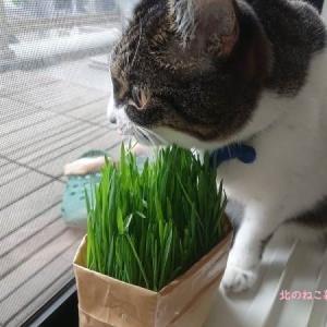 猫草をこっそり育てようとしたけれど…見つかりました。