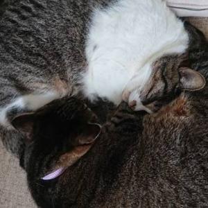 猫だんごの季節に、栗仕事とハプニング発生。