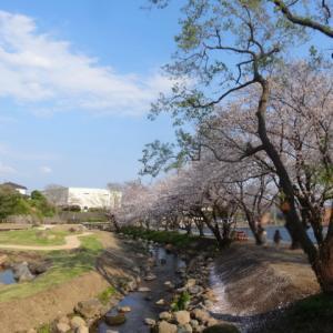 清水町丸池公園の桜