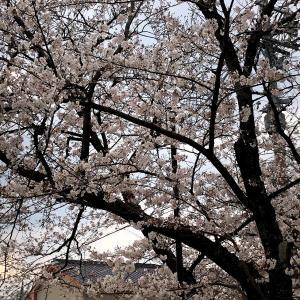 【桜】大規模なお花見は流石にできないけれど、、、