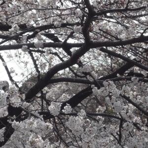 井の頭公園、桜は??
