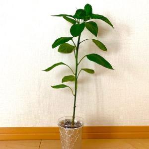 【水耕栽培】のんびり育つパプリカ、一番花の摘み取りまで!