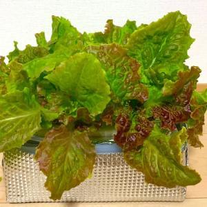 【水耕栽培】育てやすいサニーレタスで毎日サラダ♪
