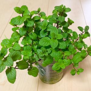 【水耕栽培】ペパーミントを種からココピート培地で育てます!