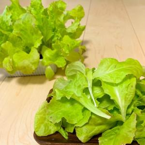 【水耕栽培】余った葉物野菜の種は「大きめベビーリーフ」で大量収穫!
