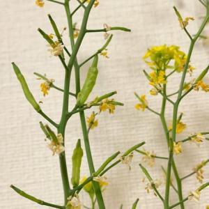 【水耕栽培】チンゲンサイの花を咲かせて採種!無事に発芽も確認♪