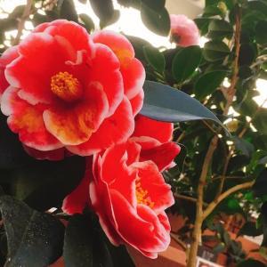 【石川】ののいち椿館で野々市市の花木「椿」を愛でる〜ののいち椿まつり