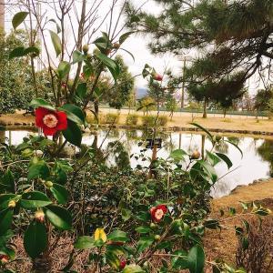 【石川】野々市中央公園の「椿山」で椿を愛でる
