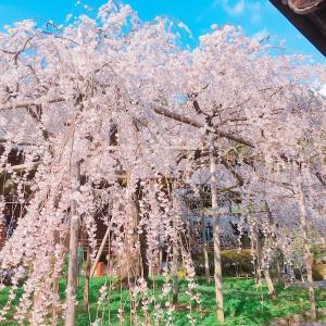 春の「毘沙門堂」で樹齢150年を超えるしだれ桜を楽しむ/京都