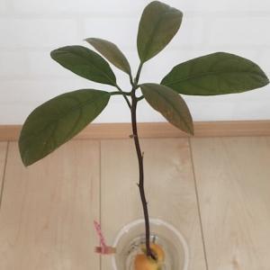 アボカドの水耕栽培、驚異の成長スピード!〜アボカド育成日記④